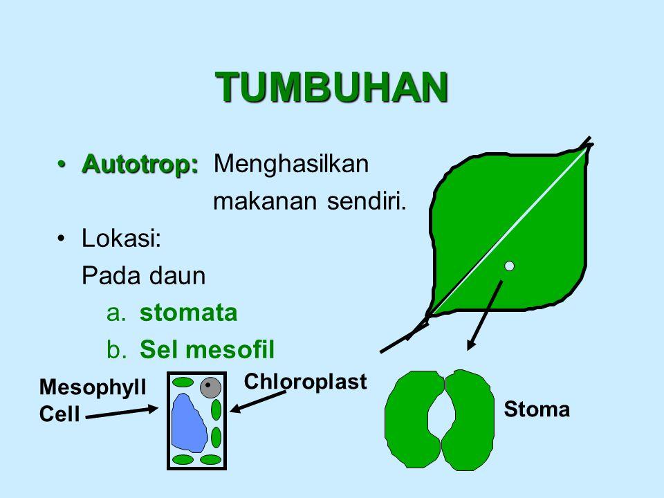 TUMBUHAN Autotrop: Menghasilkan makanan sendiri. Lokasi: Pada daun