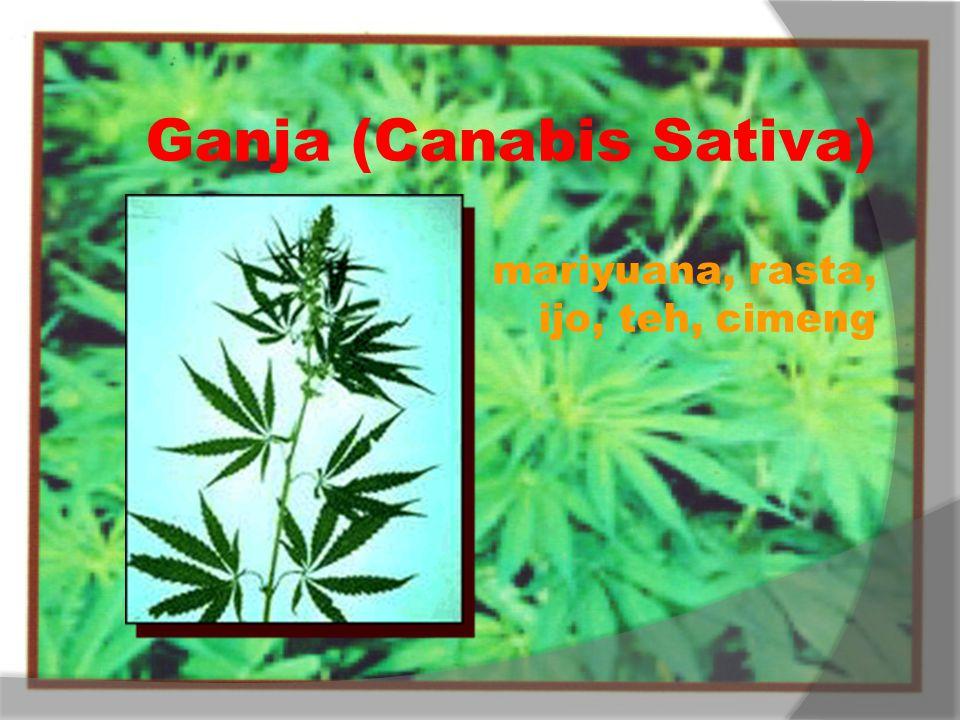 Ganja (Canabis Sativa) mariyuana, rasta, ijo, teh, cimeng