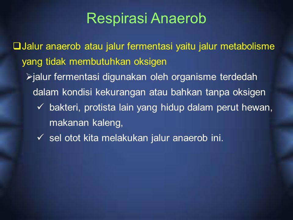 Respirasi Anaerob Jalur anaerob atau jalur fermentasi yaitu jalur metabolisme yang tidak membutuhkan oksigen.