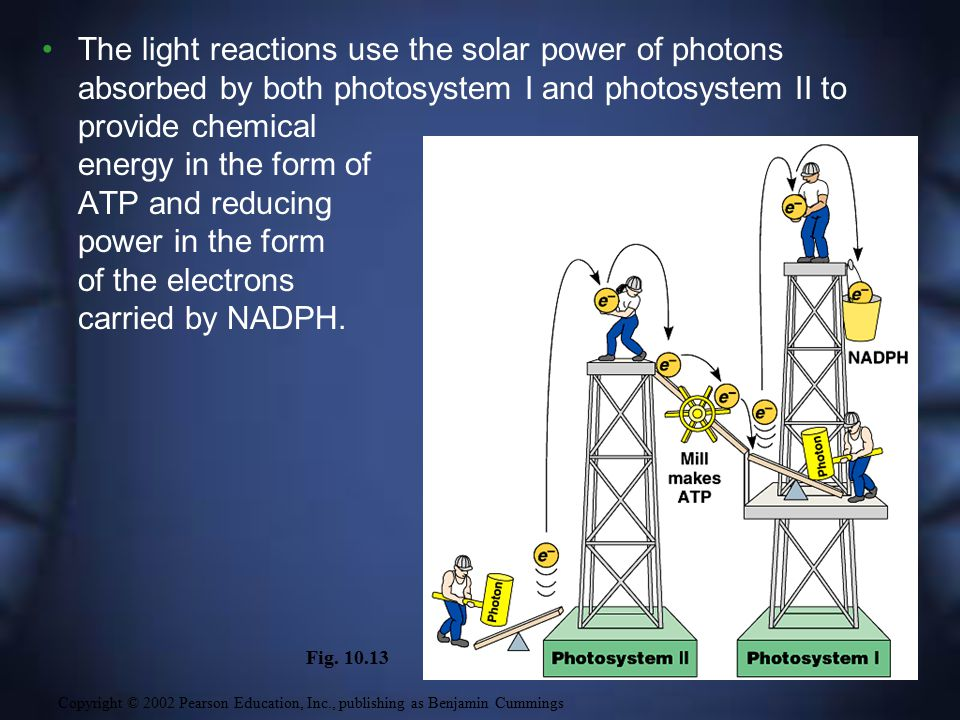 The light reactions use the solar power of photons absorbed by both photosystem I and photosystem II to provide chemical energy in the form of ATP and reducing power in the form of the electrons carried by NADPH.
