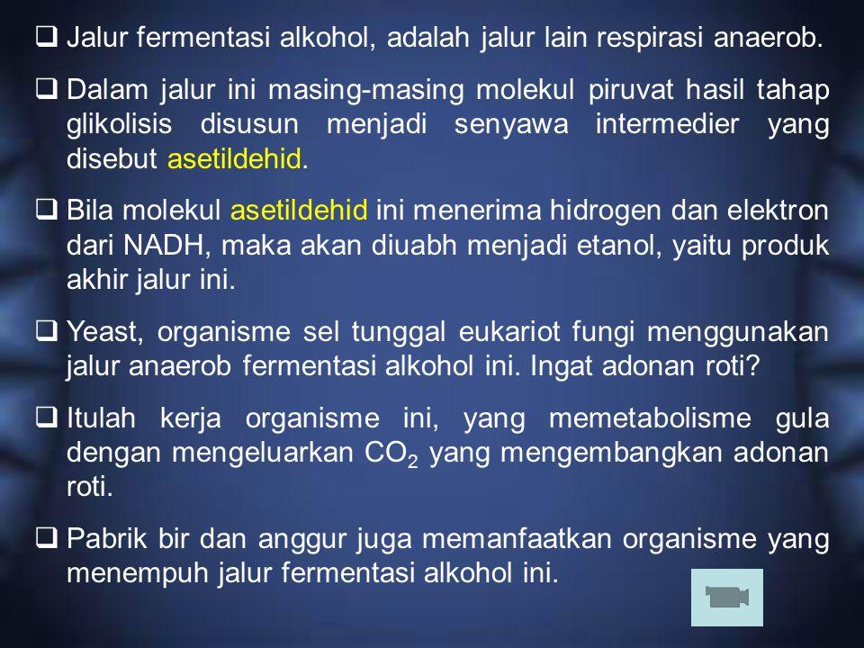 Jalur fermentasi alkohol, adalah jalur lain respirasi anaerob.