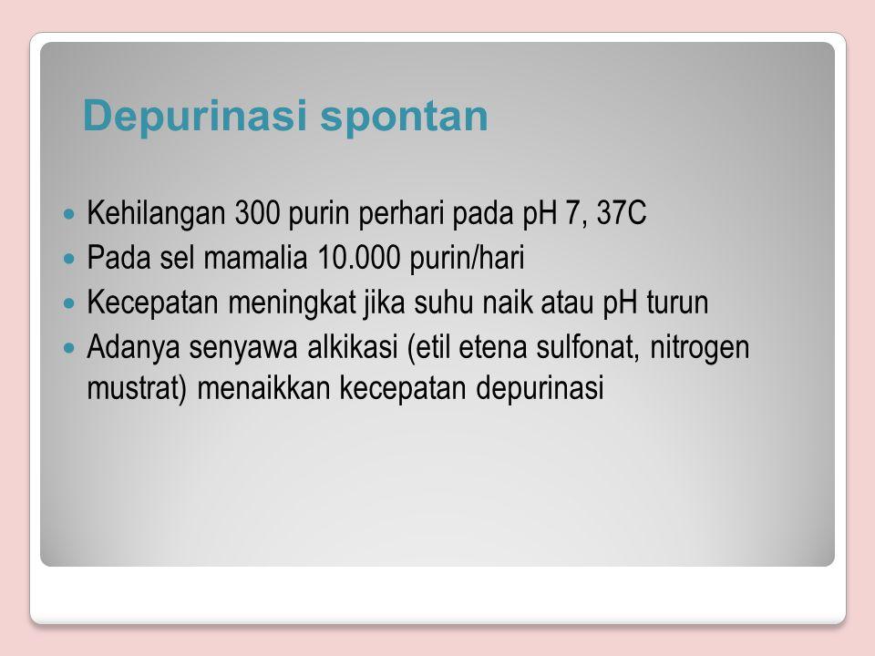 Depurinasi spontan Kehilangan 300 purin perhari pada pH 7, 37C