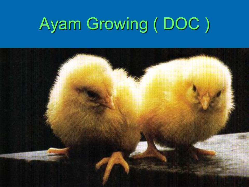 Ayam Growing ( DOC )