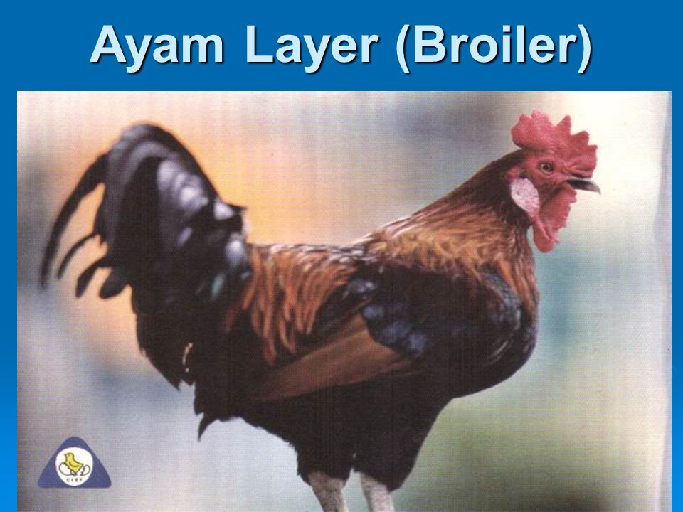 Ayam Layer (Broiler)