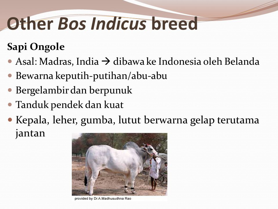 Other Bos Indicus breed