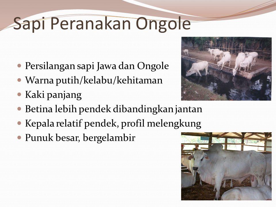Sapi Peranakan Ongole Persilangan sapi Jawa dan Ongole