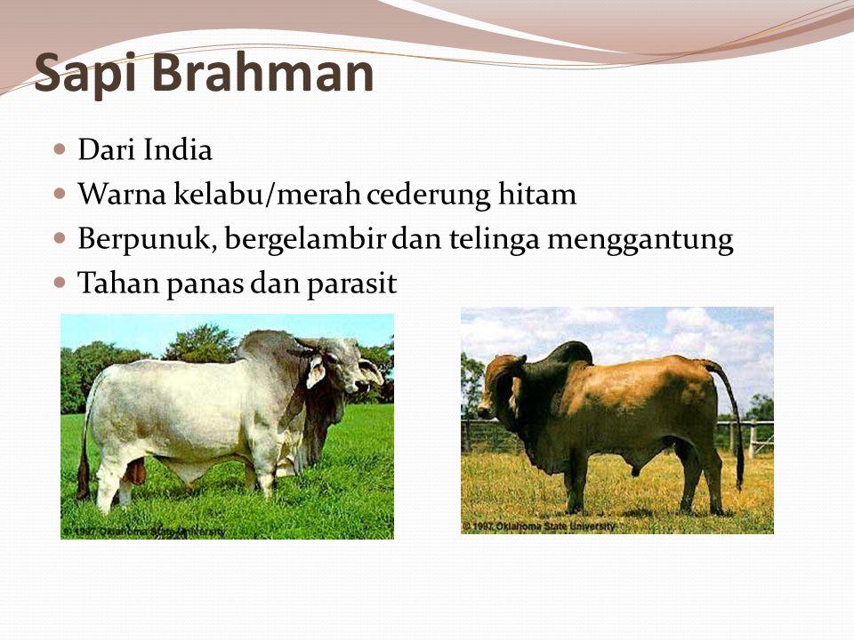 Sapi Brahman Dari India Warna kelabu/merah cederung hitam