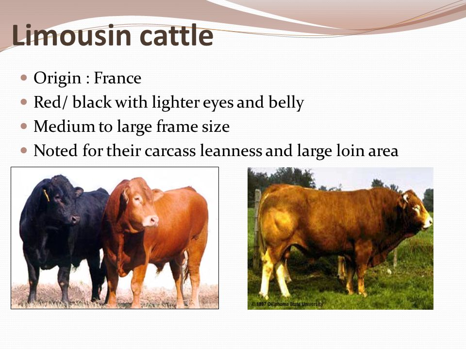 Limousin cattle Origin : France Red/ black with lighter eyes and belly