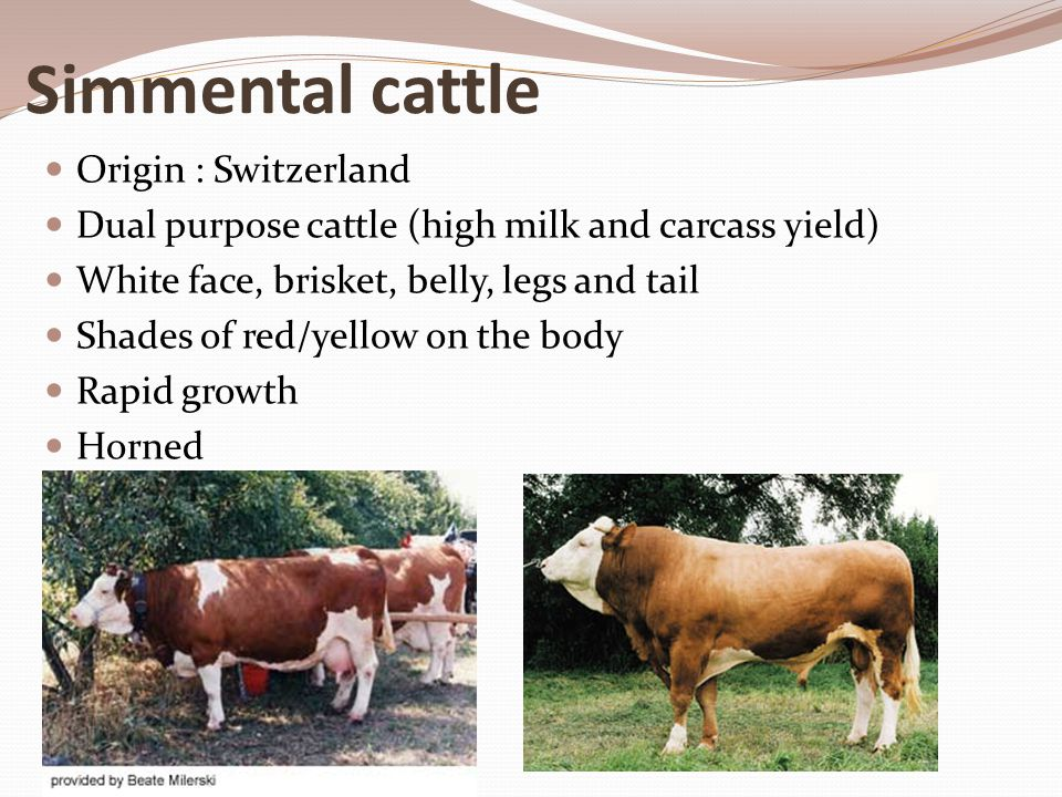 Simmental cattle Origin : Switzerland