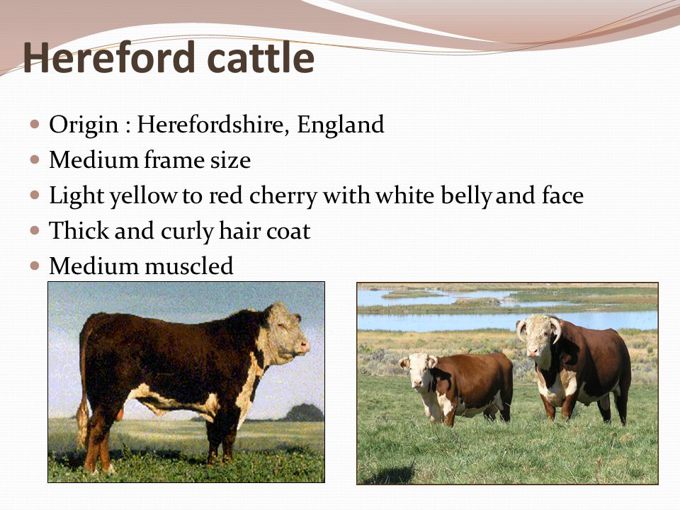 Hereford cattle Origin : Herefordshire, England Medium frame size