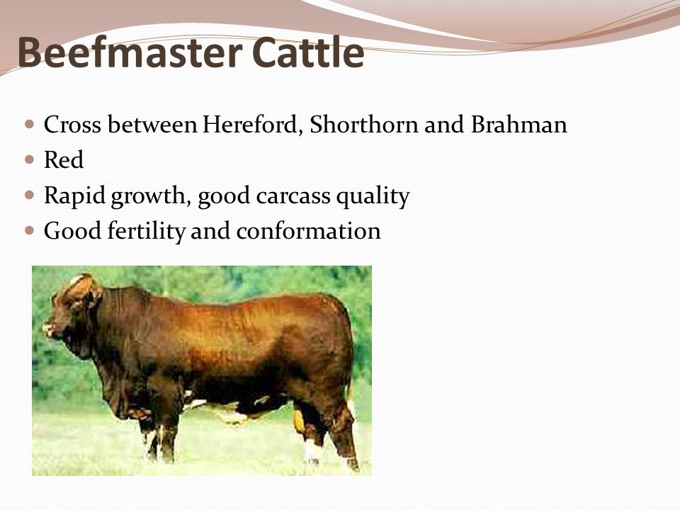 Beefmaster Cattle Cross between Hereford, Shorthorn and Brahman Red