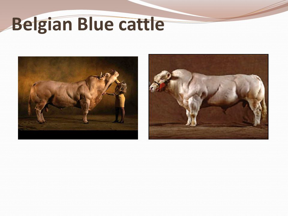 Belgian Blue cattle