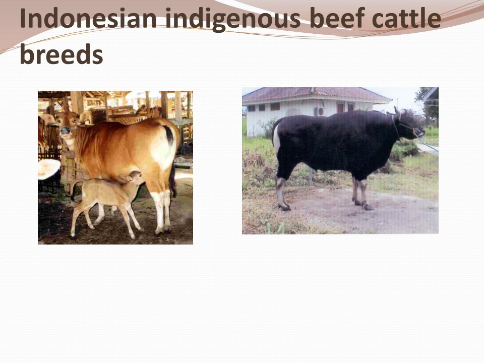 Indonesian indigenous beef cattle breeds