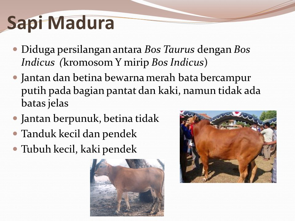 Sapi Madura Diduga persilangan antara Bos Taurus dengan Bos Indicus (kromosom Y mirip Bos Indicus)