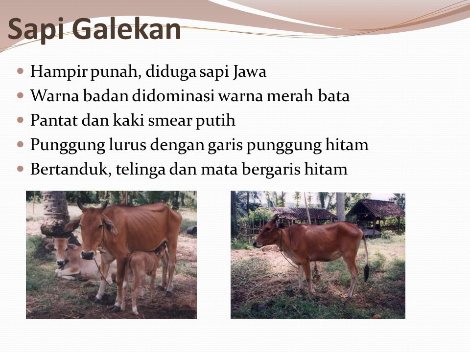 Sapi Galekan Hampir punah, diduga sapi Jawa
