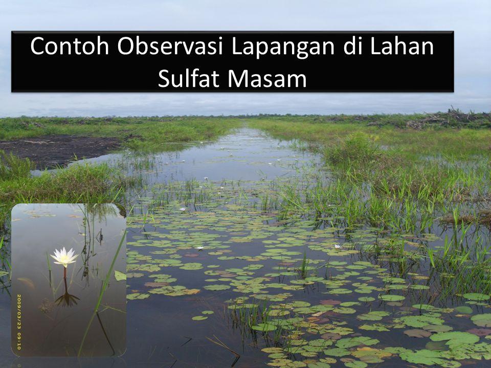 Contoh Observasi Lapangan di Lahan Sulfat Masam