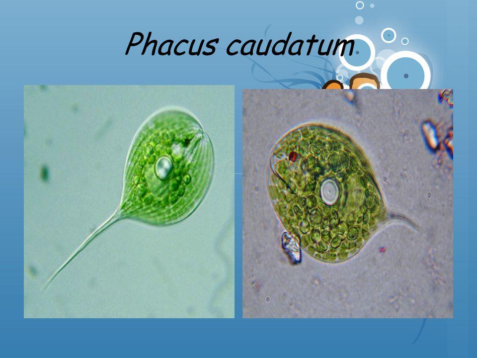 Phacus caudatum