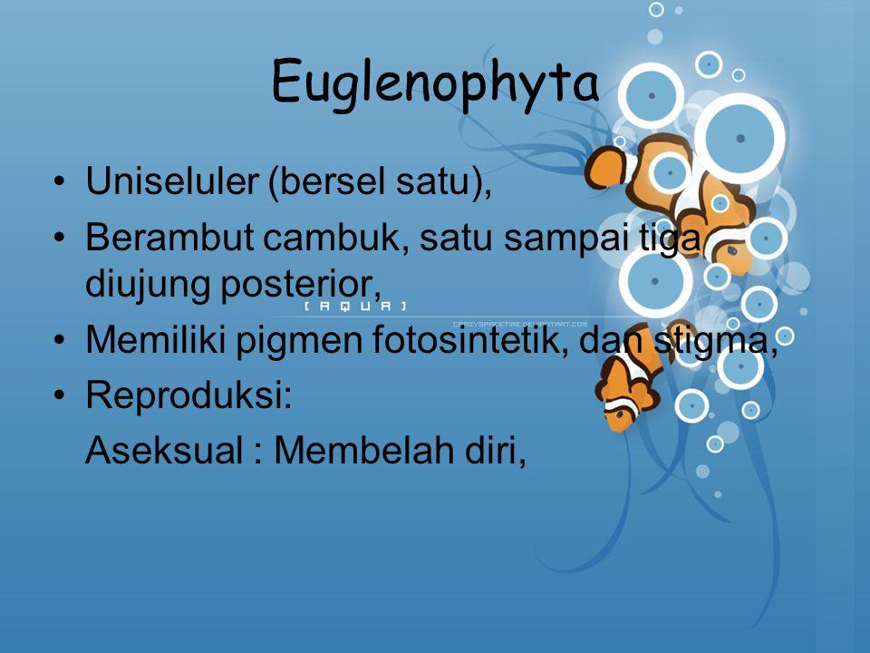 Euglenophyta Uniseluler (bersel satu),