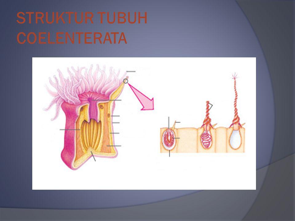 STRUKTUR TUBUH COELENTERATA