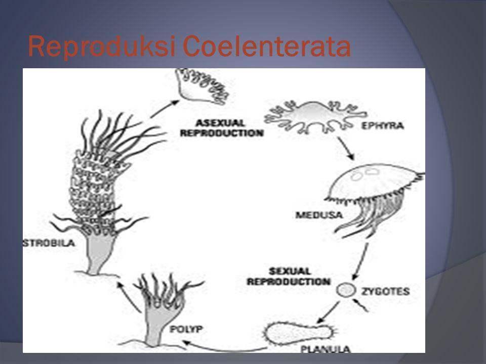 Reproduksi Coelenterata