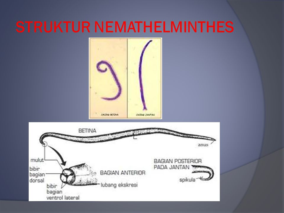 STRUKTUR NEMATHELMINTHES
