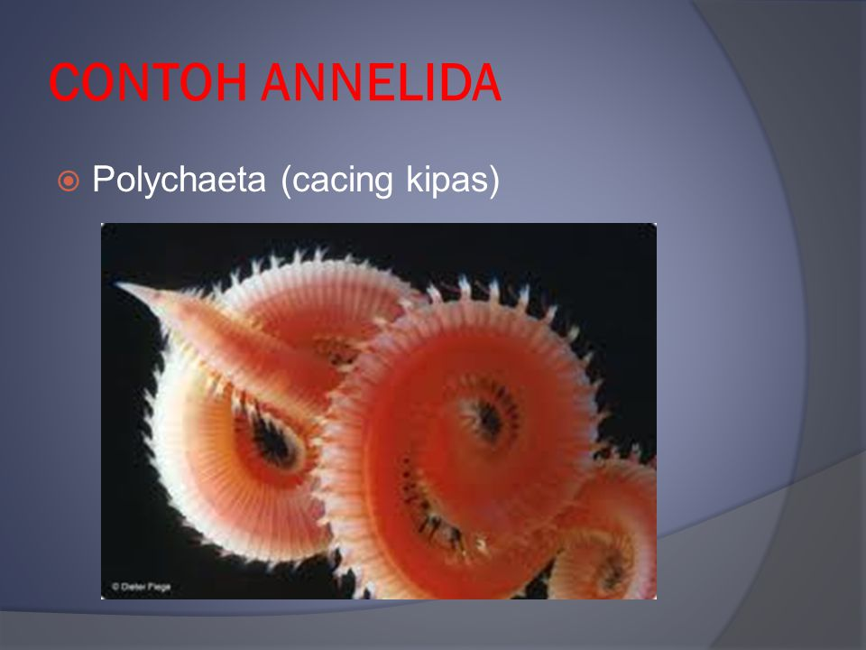 CONTOH ANNELIDA Polychaeta (cacing kipas)
