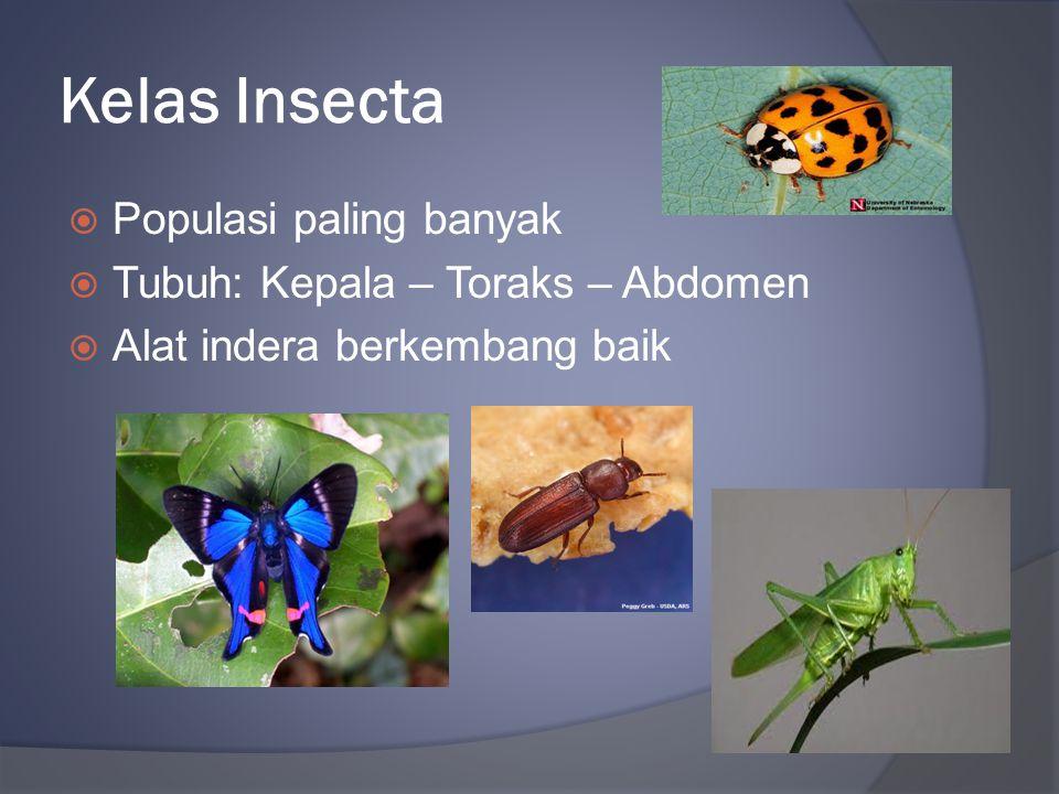 Kelas Insecta Populasi paling banyak Tubuh: Kepala – Toraks – Abdomen