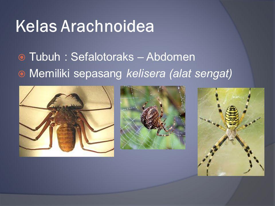 Kelas Arachnoidea Tubuh : Sefalotoraks – Abdomen