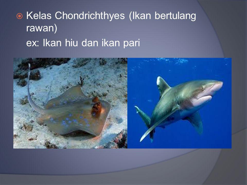 Kelas Chondrichthyes (Ikan bertulang rawan)