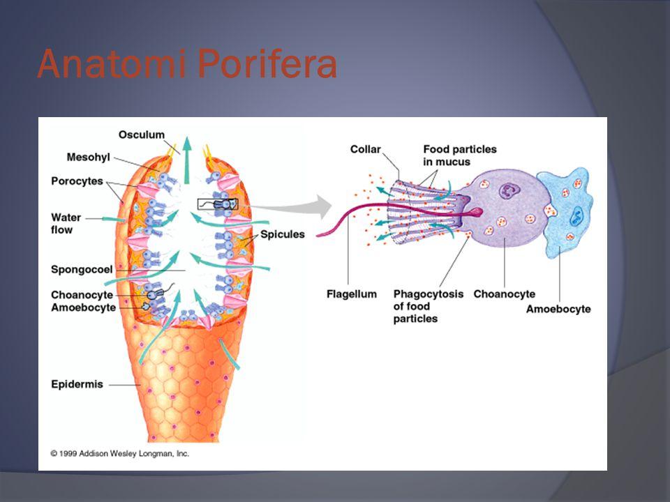 Anatomi Porifera