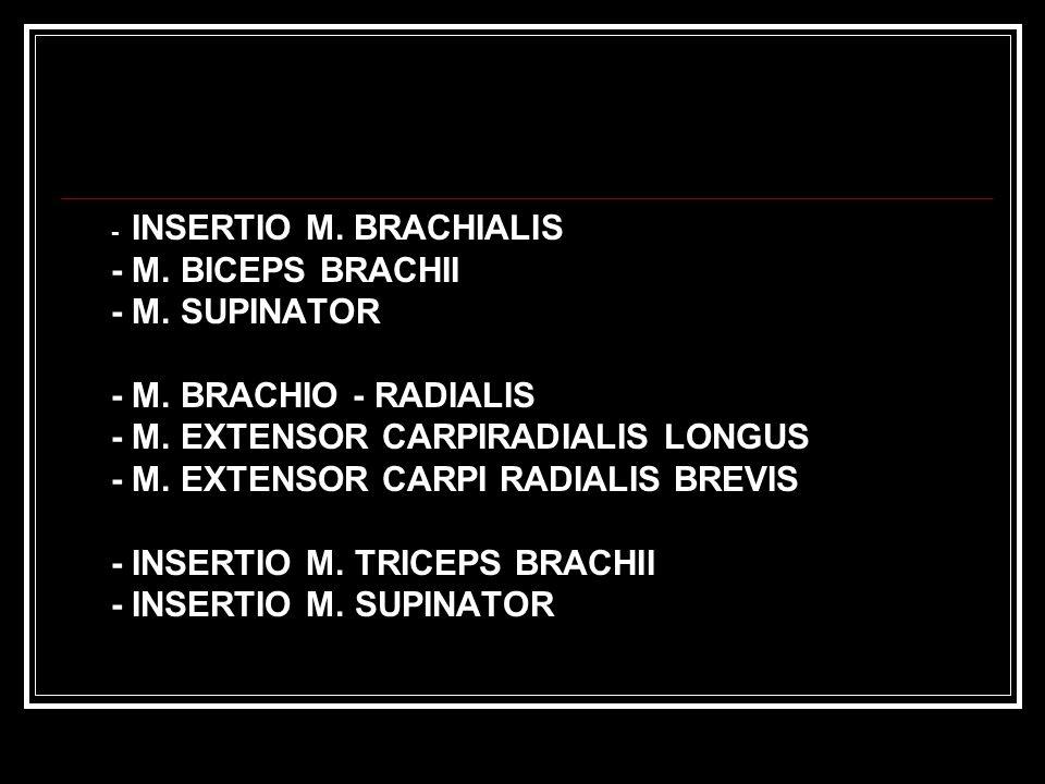 - M. EXTENSOR CARPIRADIALIS LONGUS - M. EXTENSOR CARPI RADIALIS BREVIS