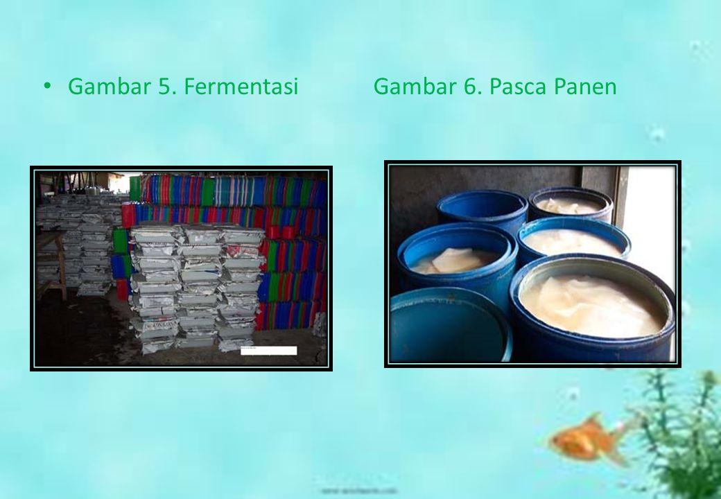 Gambar 5. Fermentasi Gambar 6. Pasca Panen