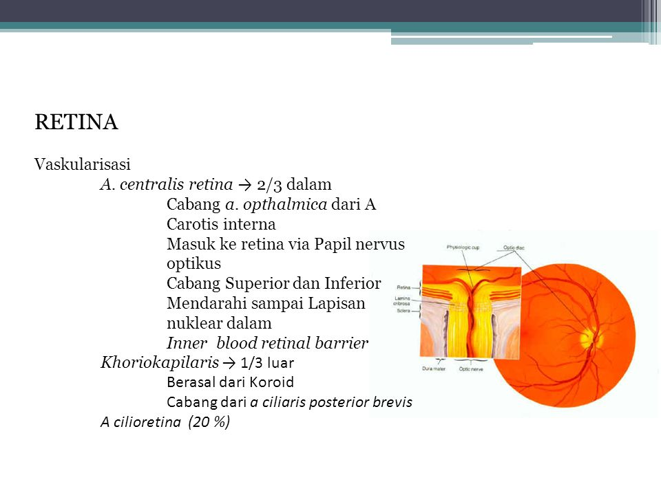 RETINA Vaskularisasi A. centralis retina → 2/3 dalam