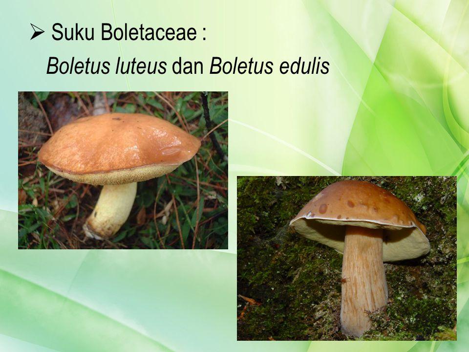 Suku Boletaceae : Boletus luteus dan Boletus edulis