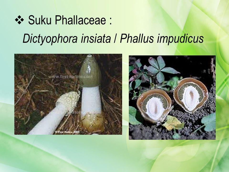 Suku Phallaceae : Dictyophora insiata / Phallus impudicus