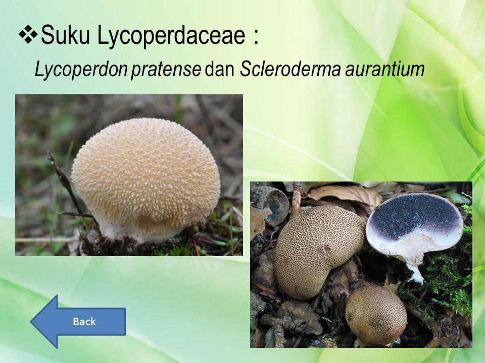 Suku Lycoperdaceae : Lycoperdon pratense dan Scleroderma aurantium