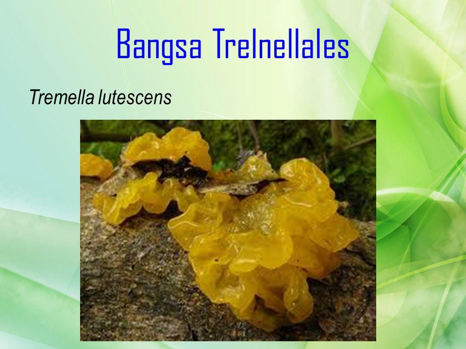 Bangsa Trelnellales Tremella lutescens