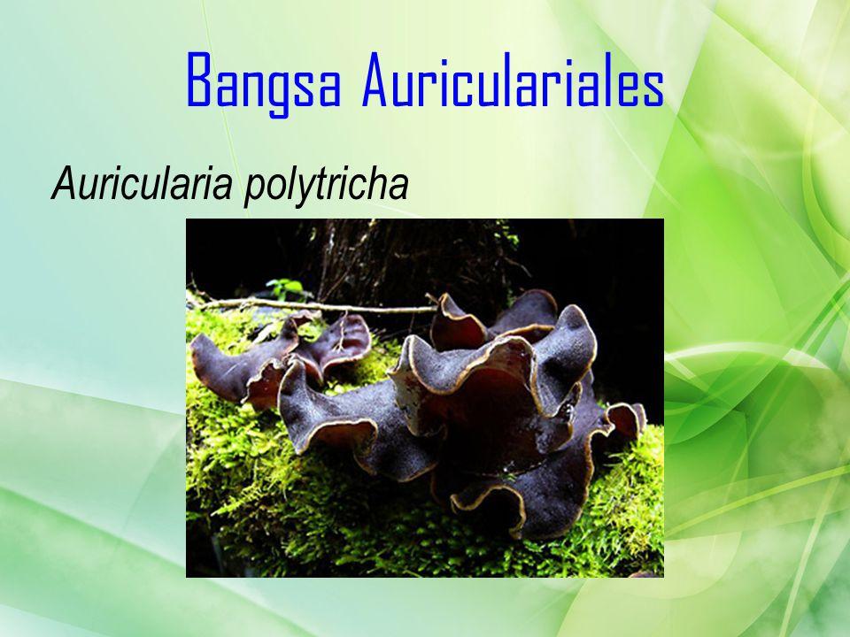 Bangsa Auriculariales