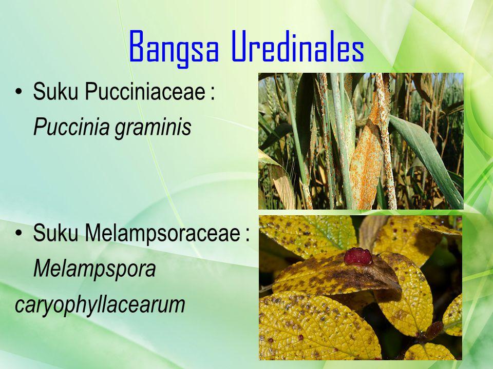 Bangsa Uredinales Suku Pucciniaceae : Puccinia graminis