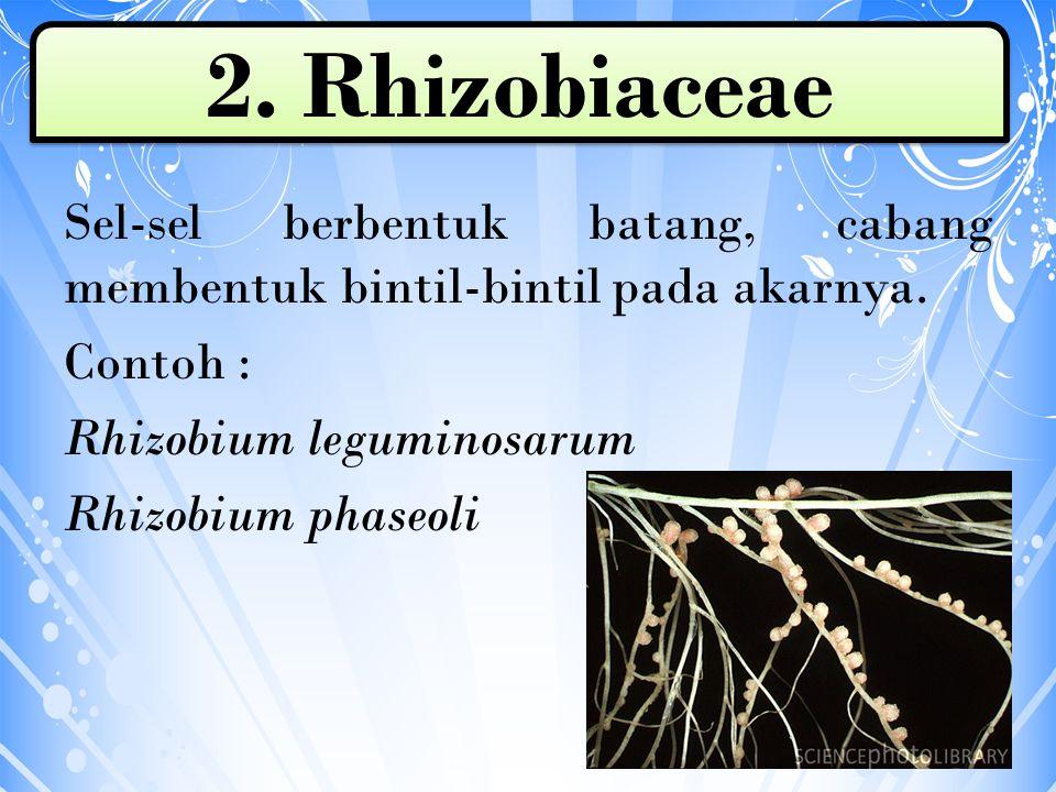 2. Rhizobiaceae Sel-sel berbentuk batang, cabang membentuk bintil-bintil pada akarnya.