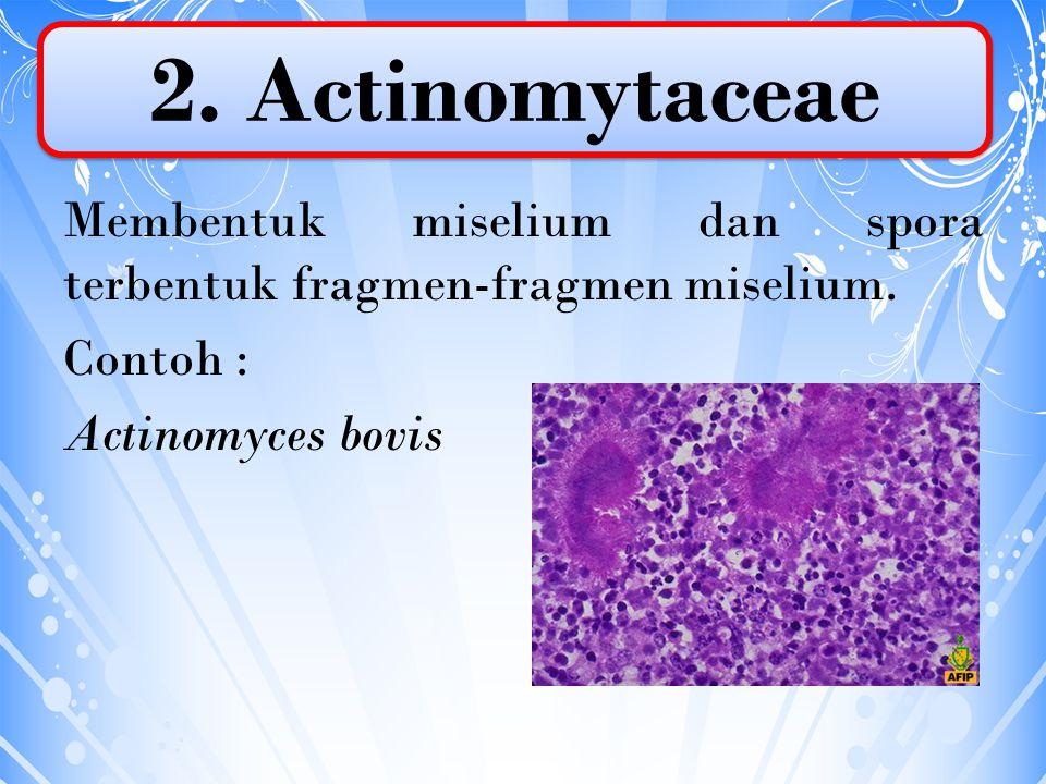 2. Actinomytaceae Membentuk miselium dan spora terbentuk fragmen-fragmen miselium.