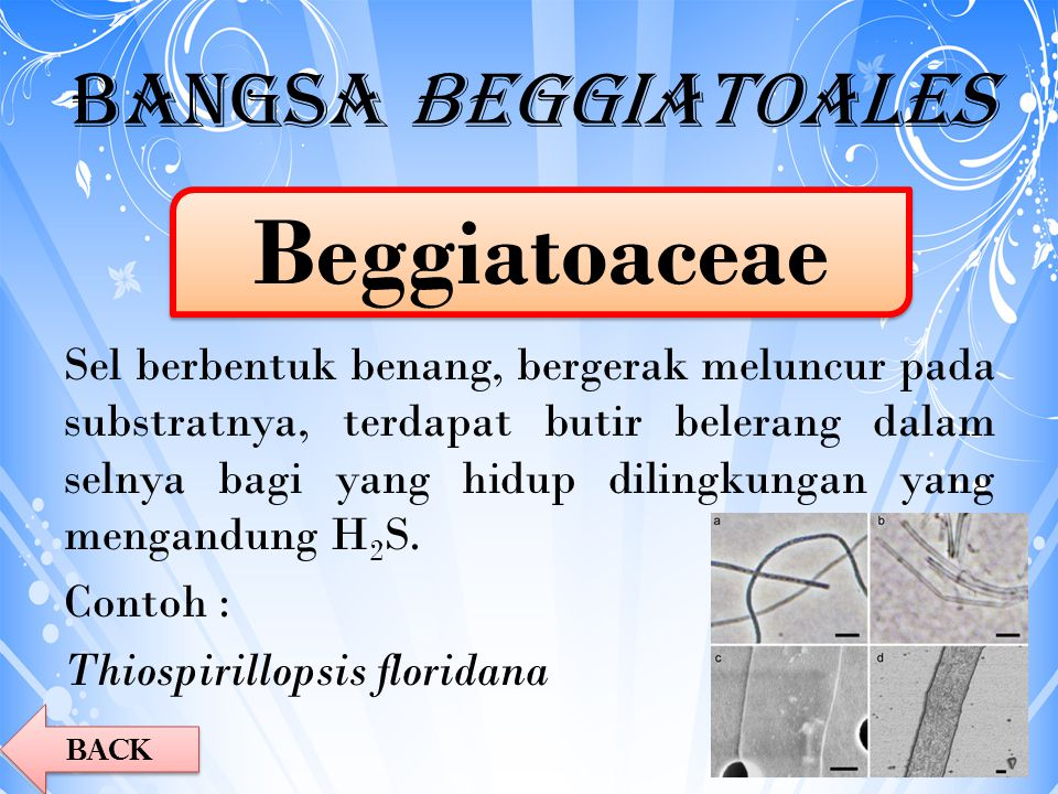 Beggiatoaceae Bangsa Beggiatoales