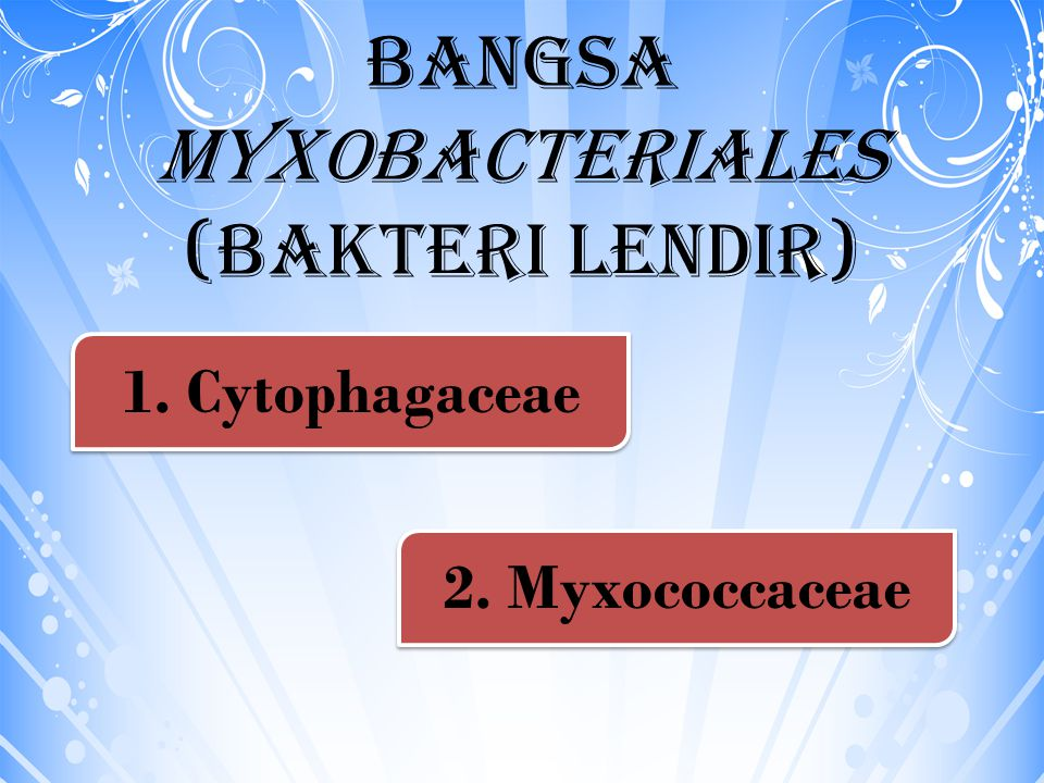 Bangsa Myxobacteriales (Bakteri lendir)