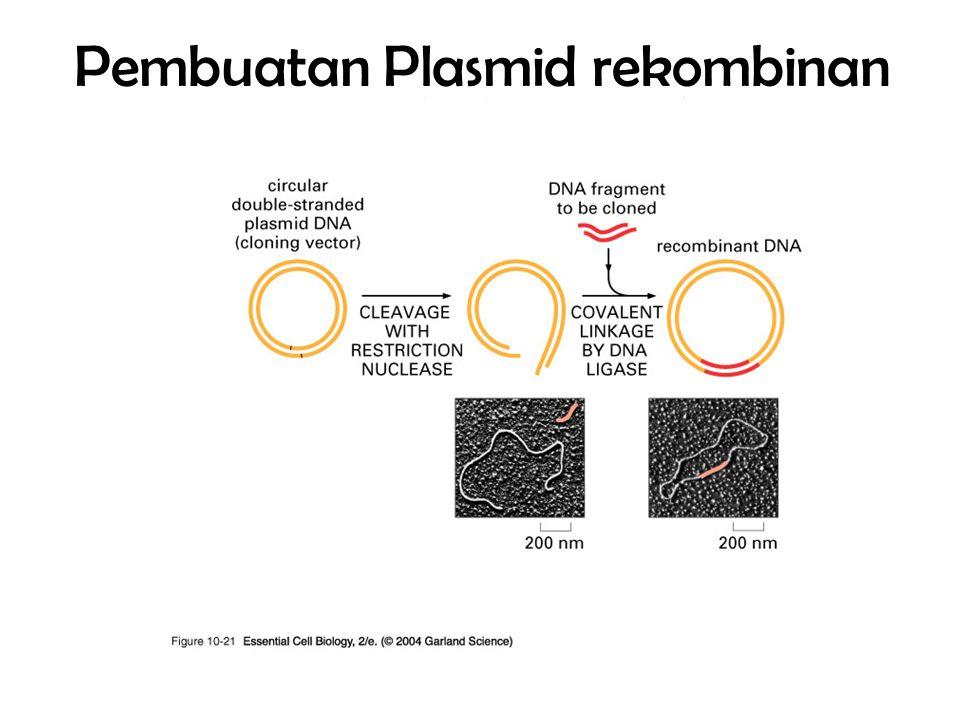 Pembuatan Plasmid rekombinan