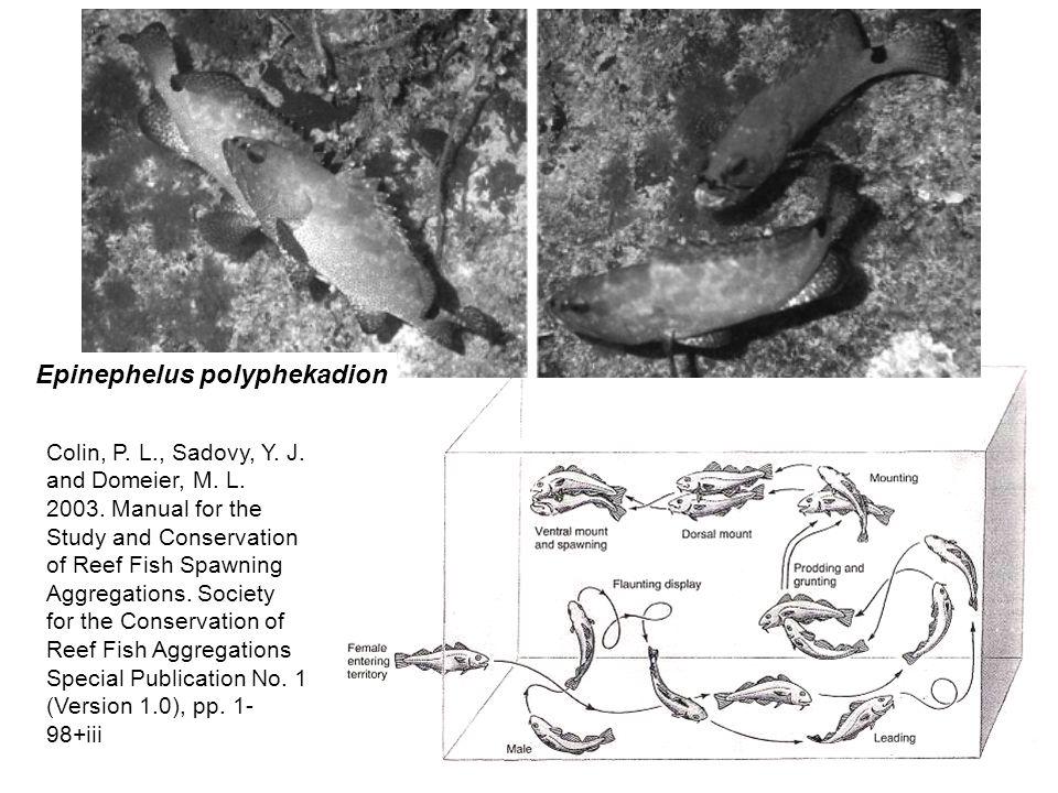 Epinephelus polyphekadion