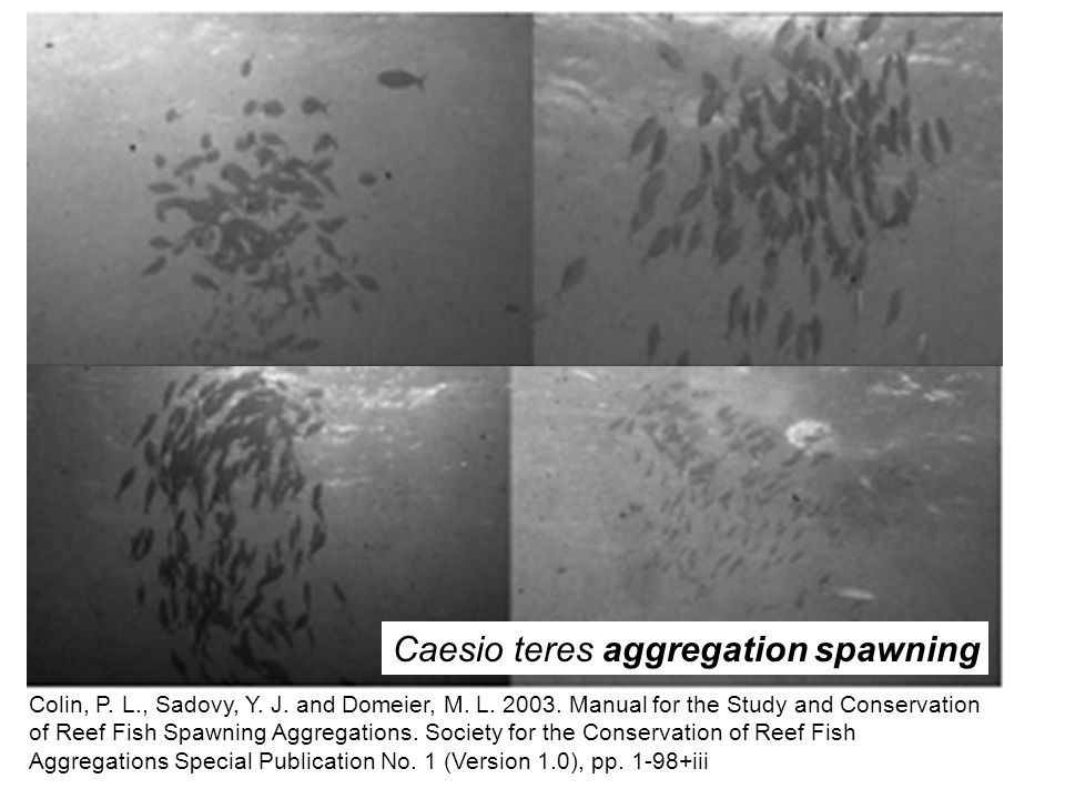 Caesio teres aggregation spawning