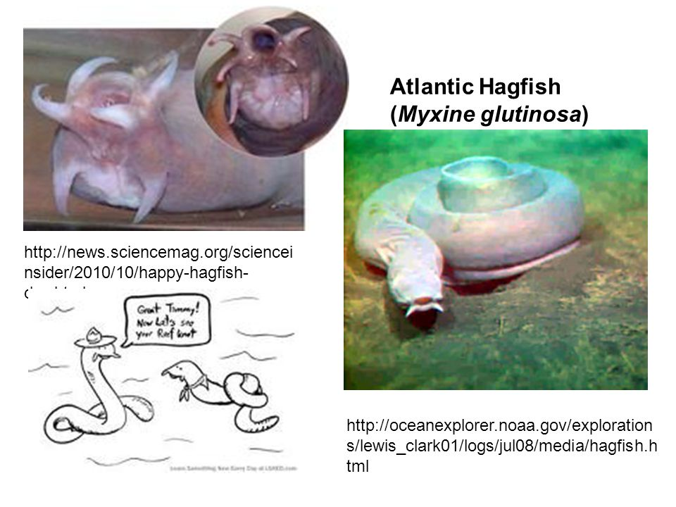 Atlantic Hagfish (Myxine glutinosa)