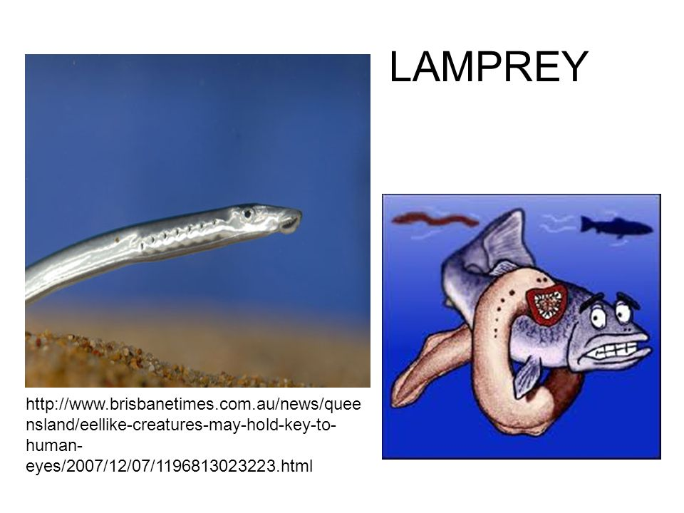 LAMPREY http://www.brisbanetimes.com.au/news/queensland/eellike-creatures-may-hold-key-to-human-eyes/2007/12/07/1196813023223.html.