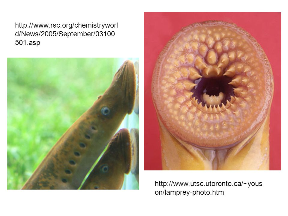 http://www.rsc.org/chemistryworld/News/2005/September/03100501.asp http://www.utsc.utoronto.ca/~youson/lamprey-photo.htm.