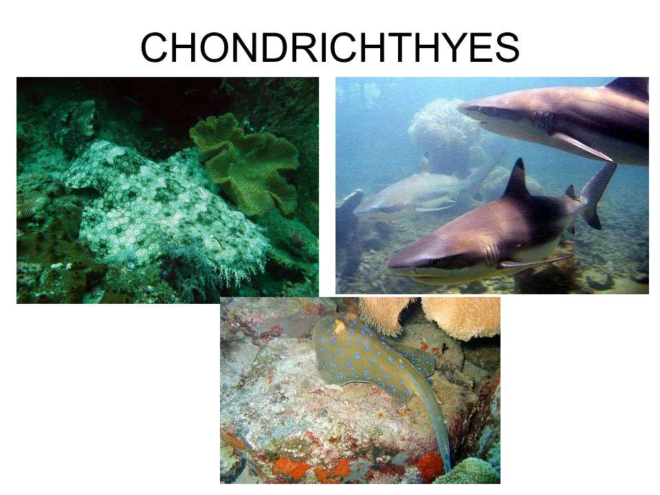 CHONDRICHTHYES